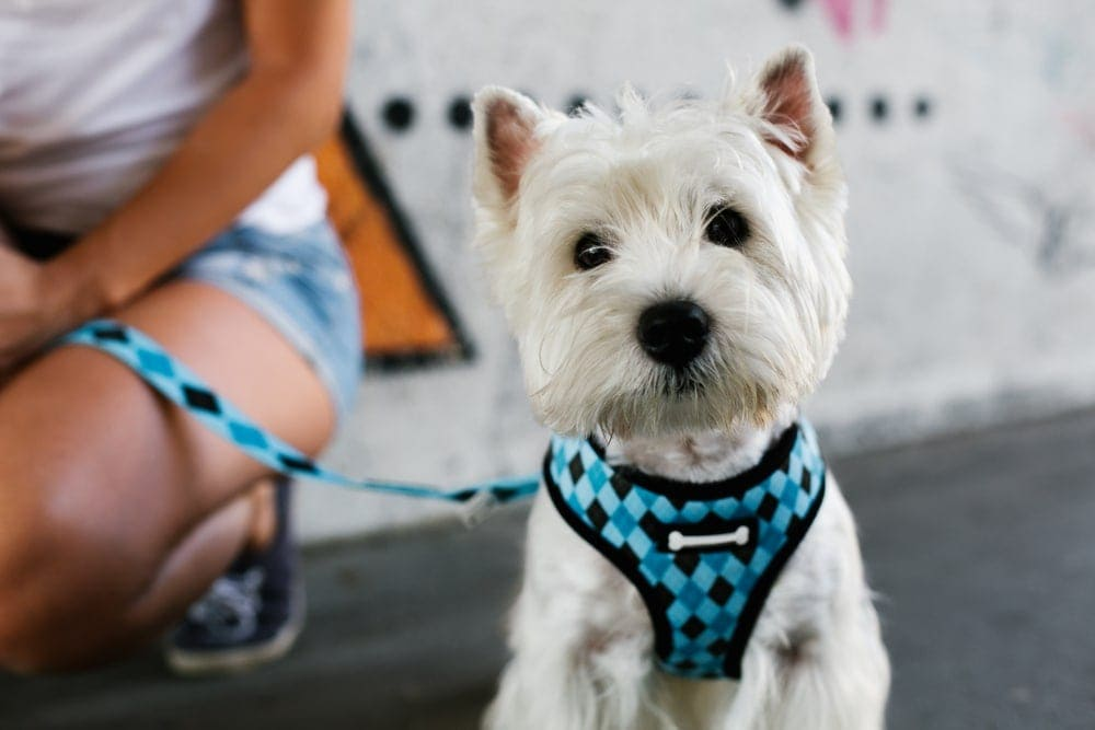 white terrier on a harnesses