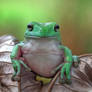 White's Tree Frog Care Guide - Diet, Lifespan & More