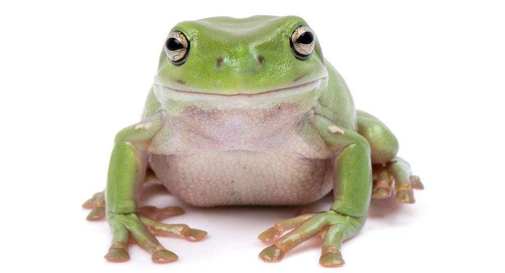 whites tree frog e1580927885859