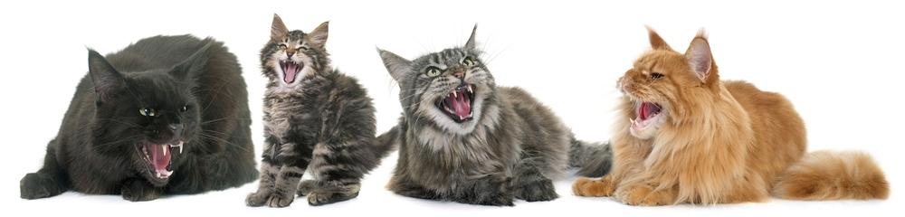 4 cats yowling