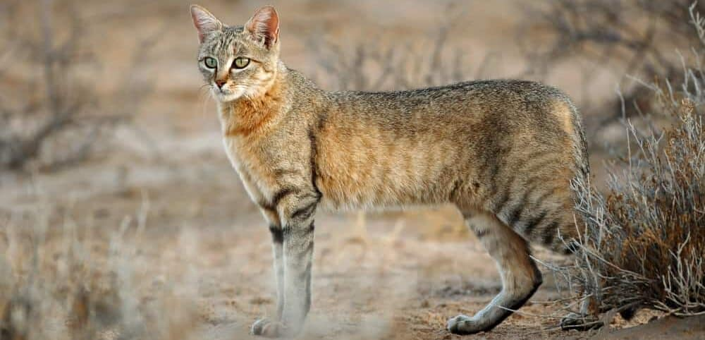 african wild cat in savannah e1584715673377