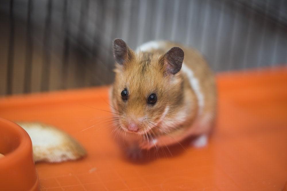 alone hamster