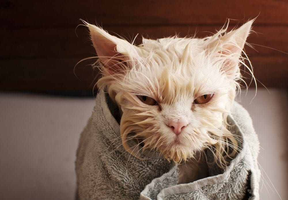 angry cat after shower