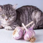 Can Cats Eat Garlic?