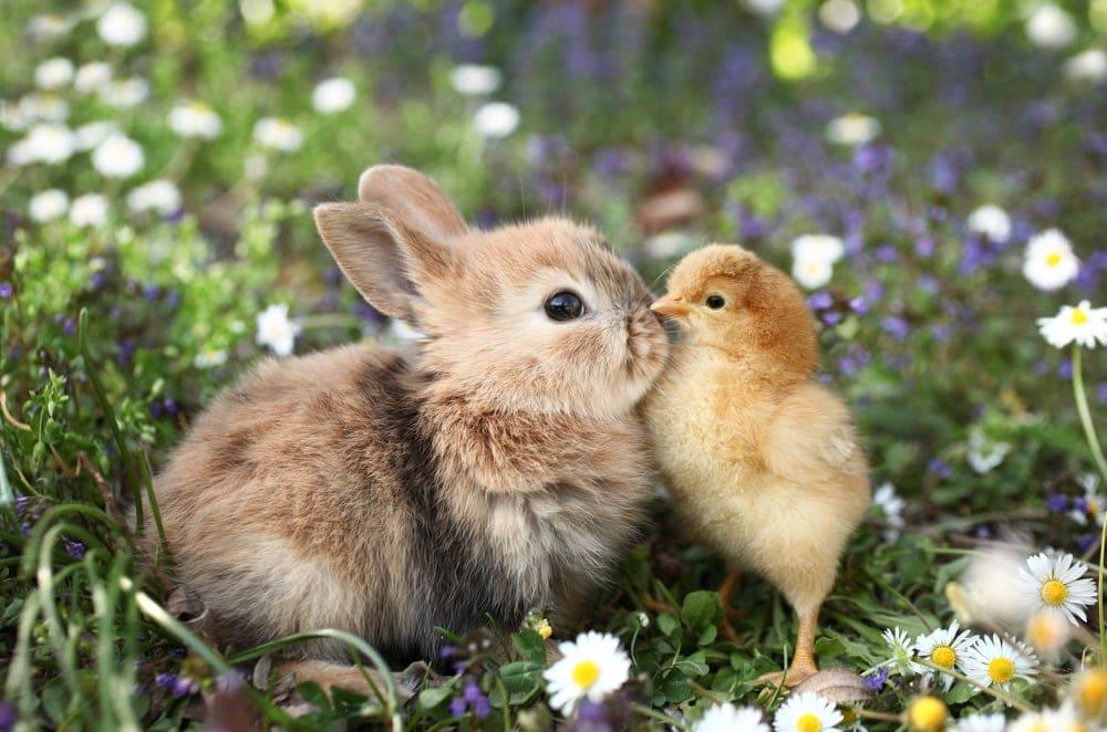 baby bunny duck