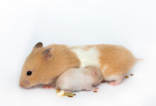 Pet Hamster Breeding & How to take care of them