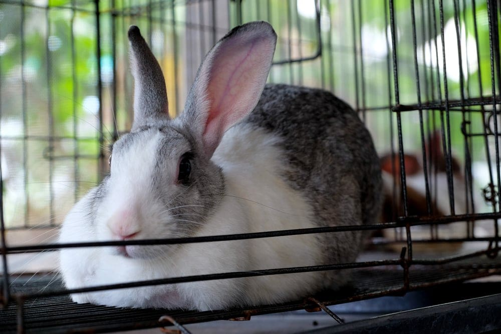 big rabbit in cage
