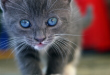 Blue Eyes Kitten: What you Need to Know
