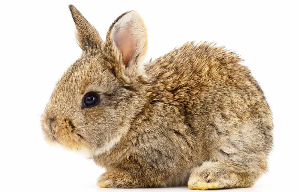 brown baby bunny 1 e1585392427489