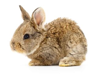 brown baby bunny