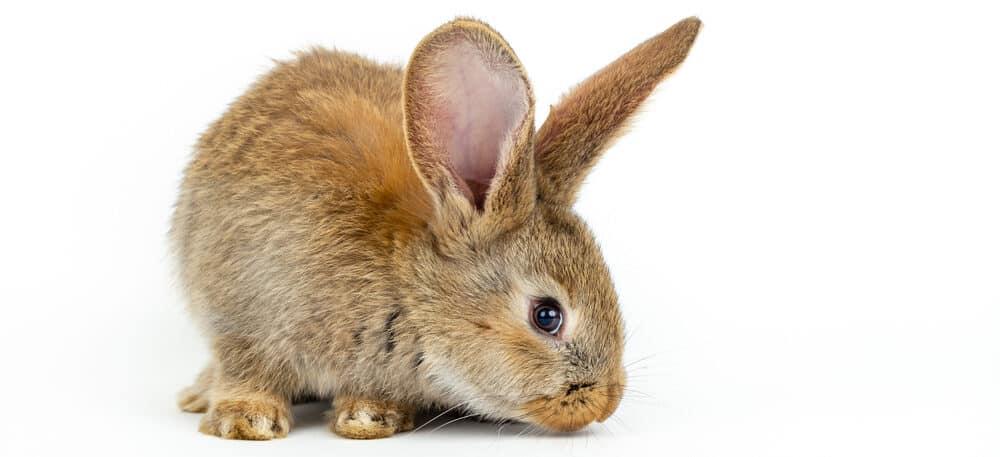 brown rabbit white bg 1 e1585481109416