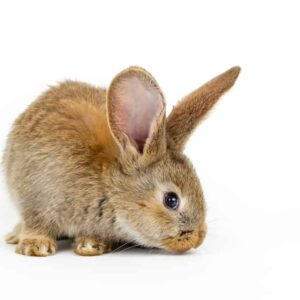 Do Pet Rabbits Smell Indoor?