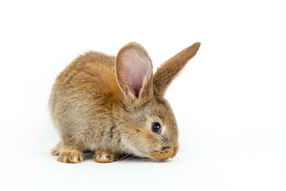 brown rabbit white bg