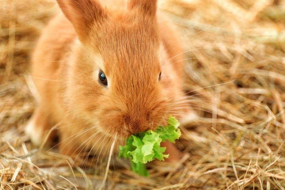 bunny eat green food
