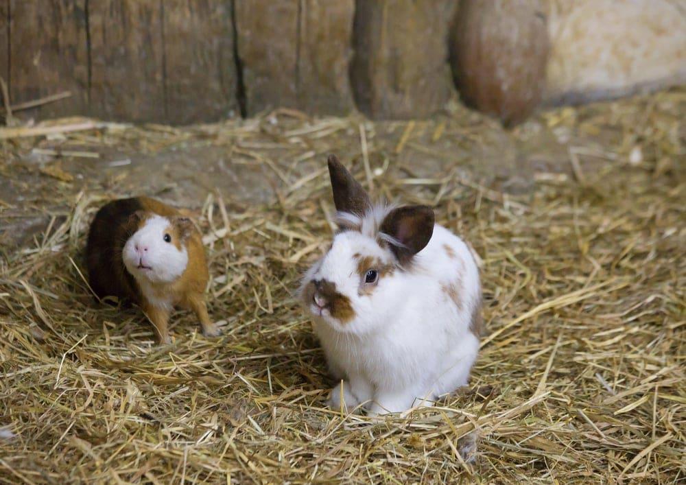 bunny guinea pig