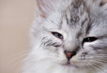 Cat Eye Discharge – Causes & Information