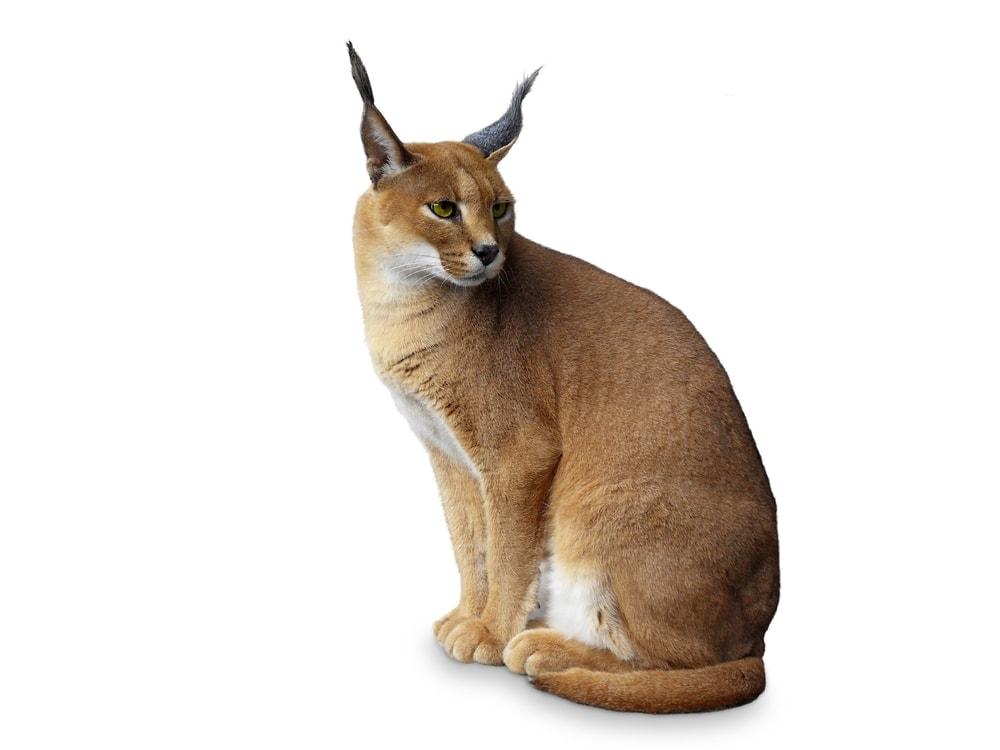 caracal african wild cat