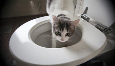 cat drinking toilet