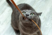 Why Does My Cat Chew on Electrical Cords?