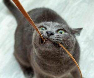 cat eats cords