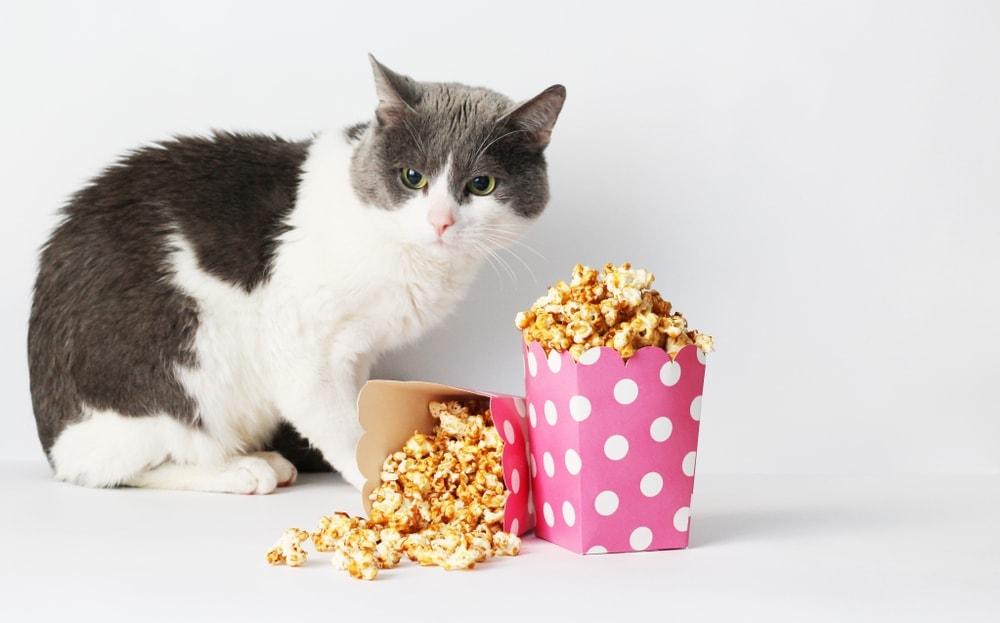 cat eats popcorn