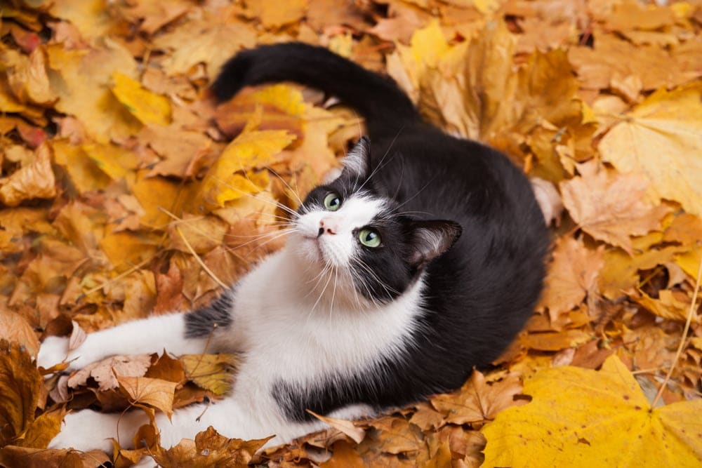 cat falls in an leaves