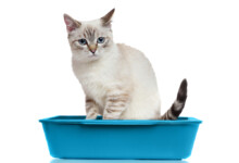 Why Does My Cat Have Diarrhea?