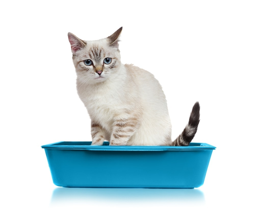 cat in a toilet white background