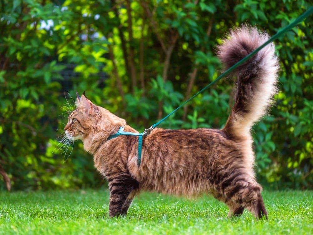 cat in leash