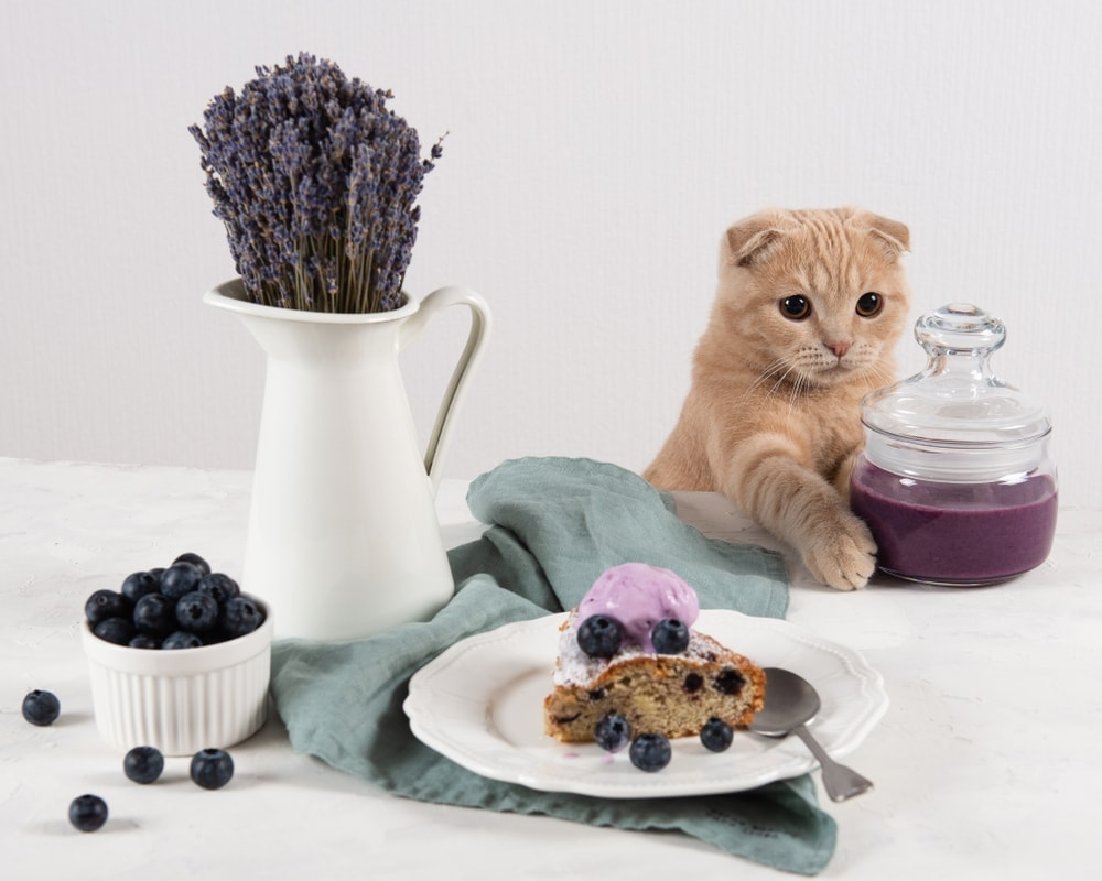 cat is eating blueberry and lavander