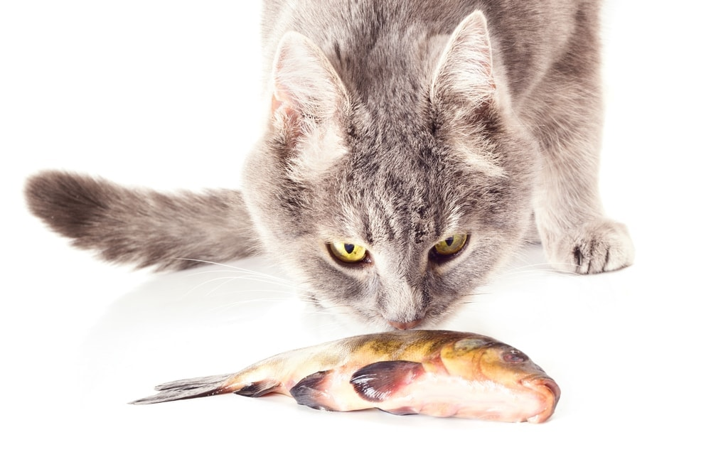 cat is eating fish