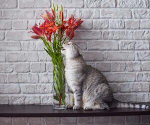 cat licks lilies