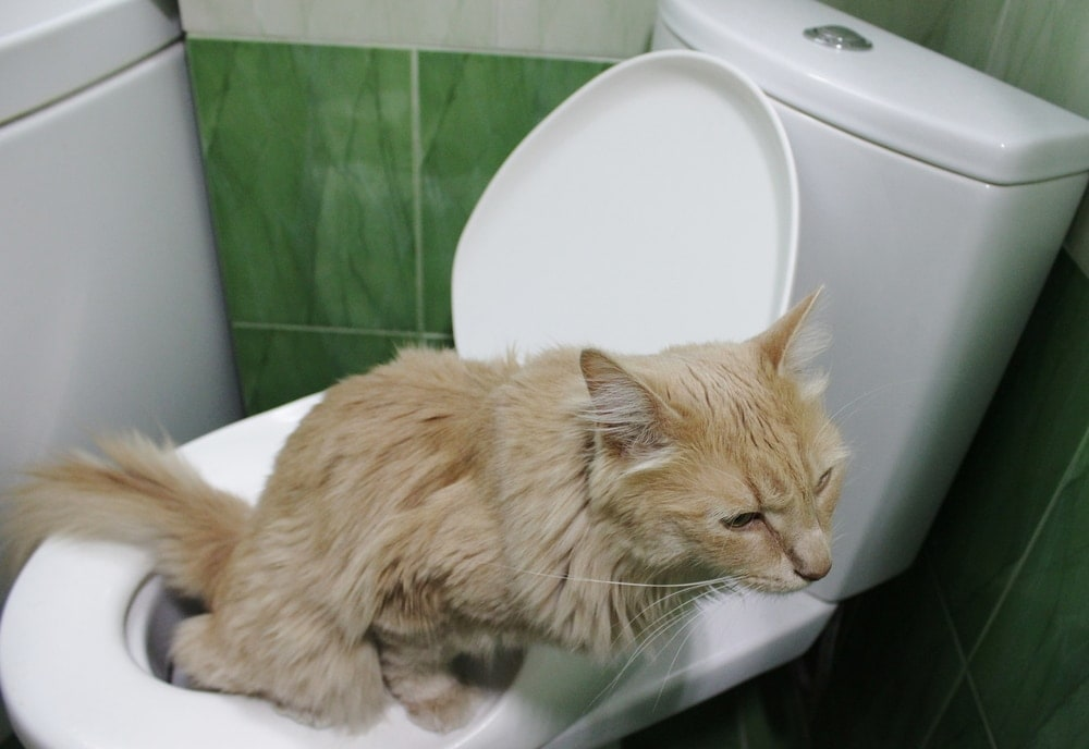 cat pee toilet