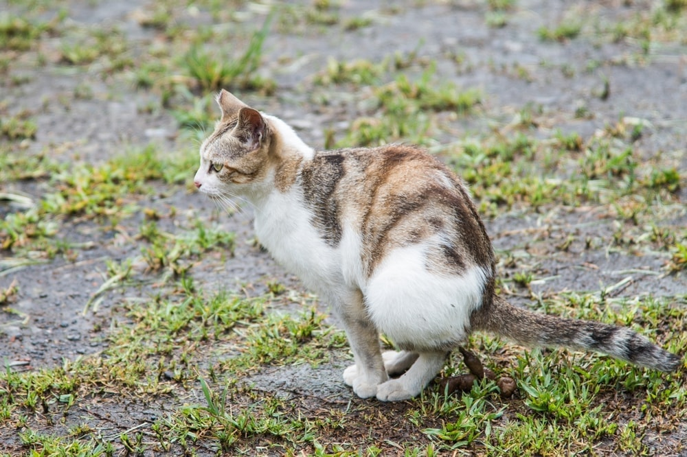 cat poo outside
