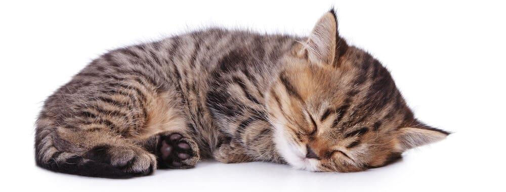 cat sleep white bg 1 e1584548369727