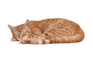 cat sleep white bg 2