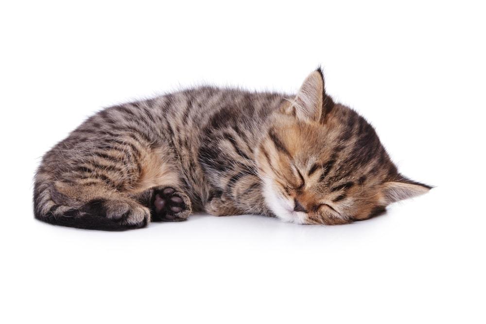 cat sleep white bg