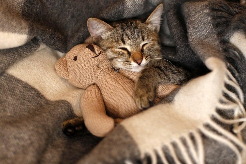 cat sleep with bear