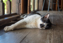 Why Do Cats Fall Over?