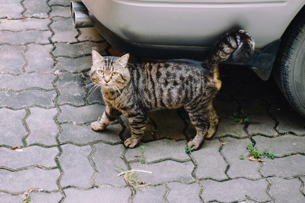 cat spray car