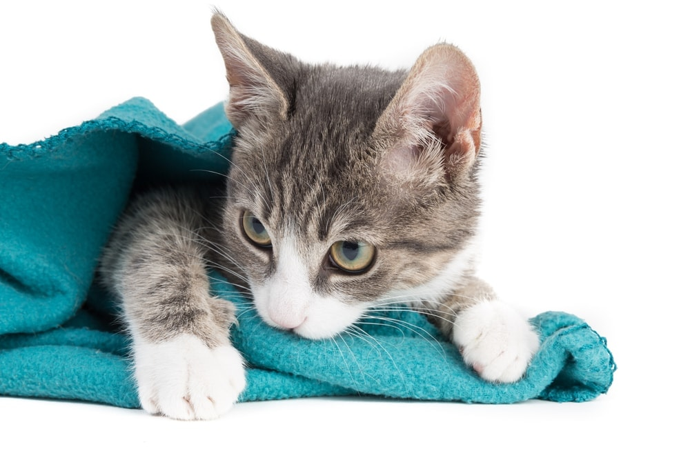 cat suck on blanket white background