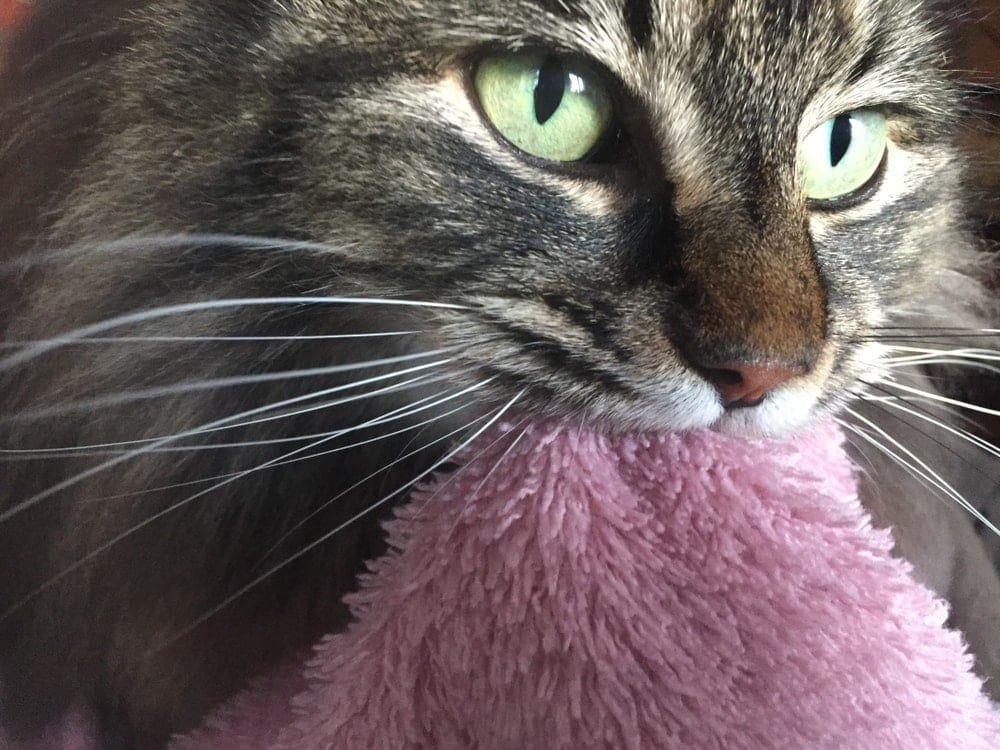 cat sucks on pink blanket