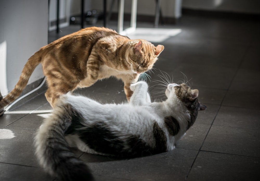 cats fight on a street