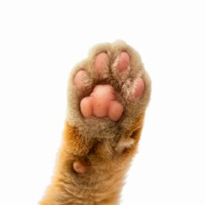 5 Cat Paw Facts You Need to Know About