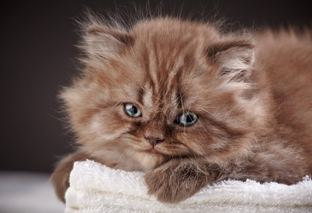 cute brown kitty