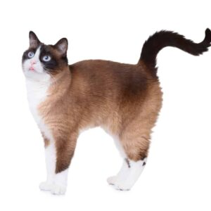 Snowshoe Cat Care Guide & Information