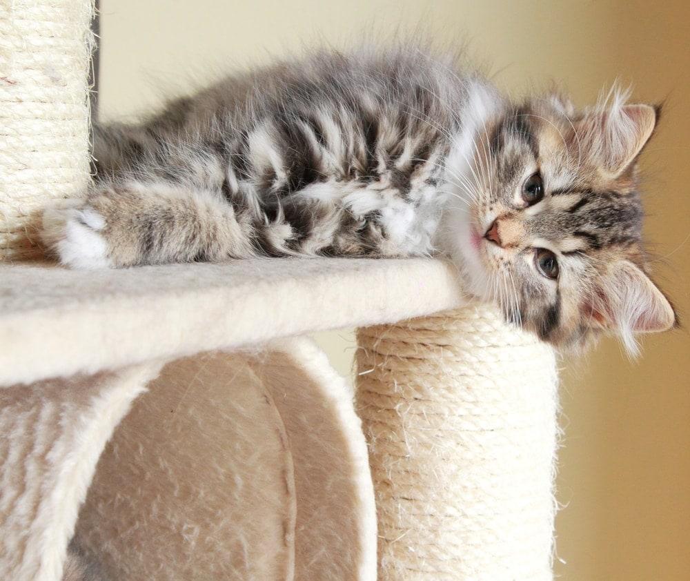 cute kitten laying
