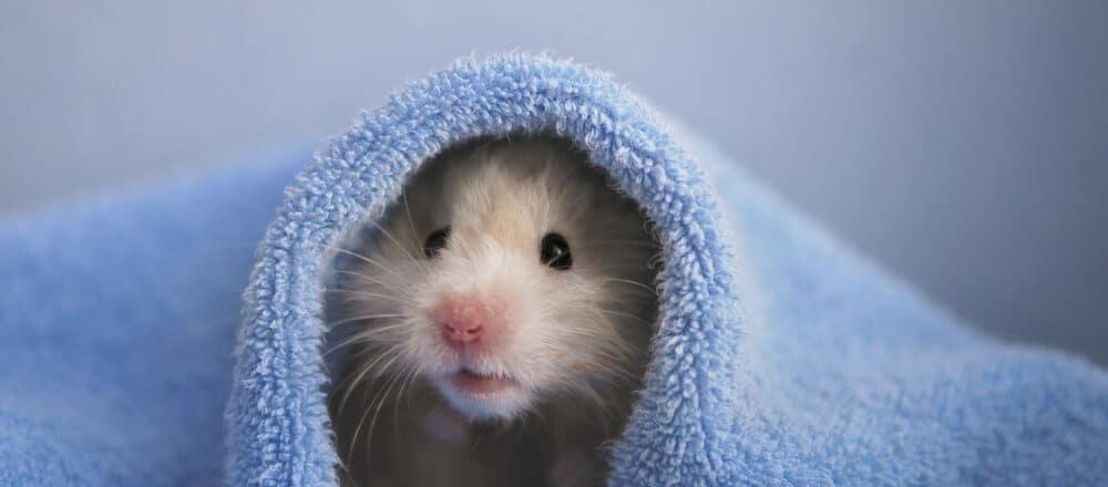 dried hamster 1 e1584873524230