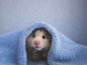 dried hamster