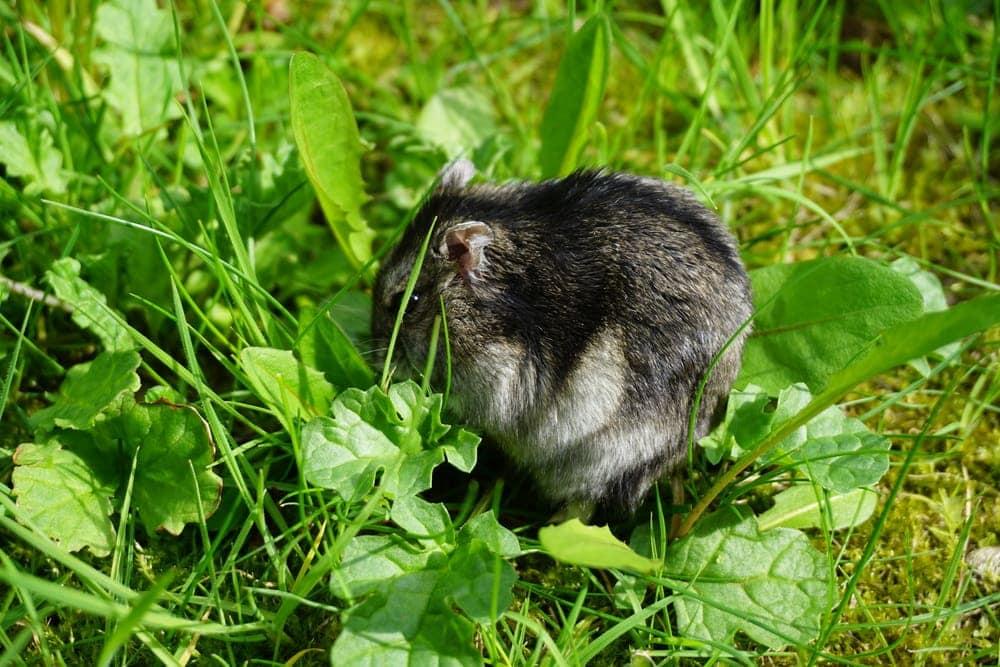 dwarf hamster wild
